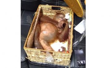 Gesmokkelde aap